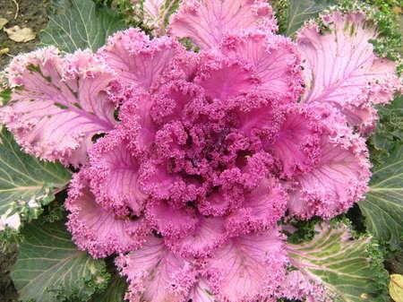 flowering kale: ornamental kale Stock Photo