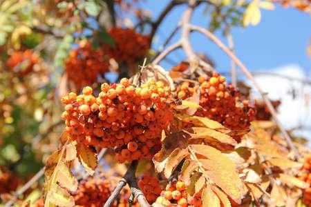 mountain ash: autumn mountain ash Stock Photo