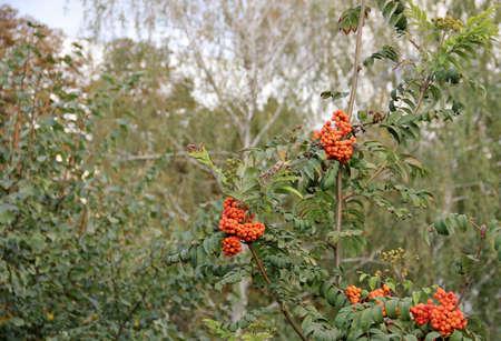 eberesche: rowan berries