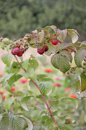 fruiting: Remontant raspberry