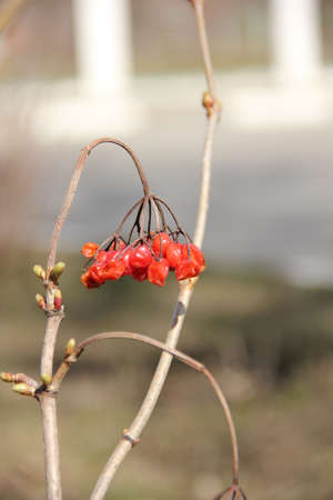Red viburnum on a branch Stock Photo