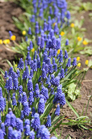 thickets of blue Muscari in the garden Stock Photo