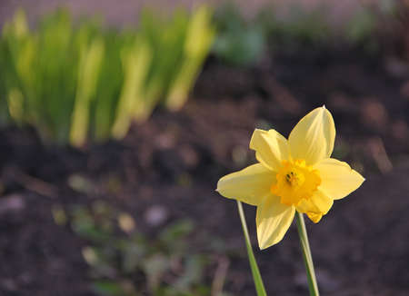 Yellow Narcissus flower in spring