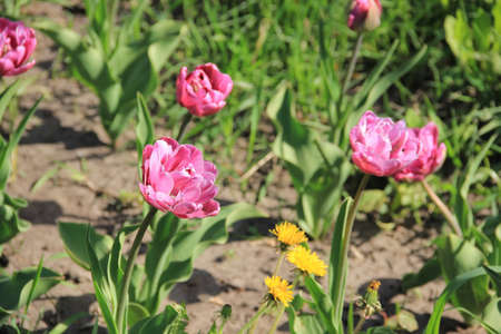 Terry lilac tulips densely planted