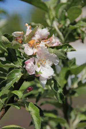 Apple blossoms on a branch in spring