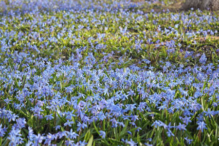 Glade of blue snowdrops, background