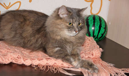 Gray furry cat with crossed legs and green ball