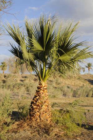 a single palm tree against a grass hill photo
