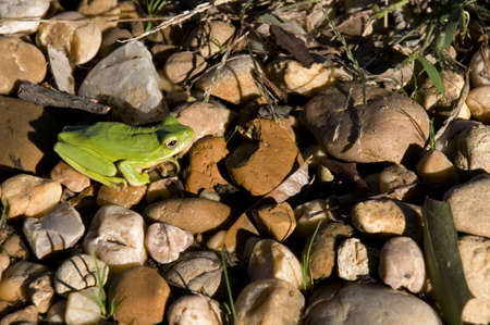 A green tree frog calmly sits in his natural environment not disturbed by a human presense a bit. Banco de Imagens - 5886624