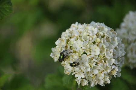 A close up photo of a generic fly on a snowball plant Reklamní fotografie