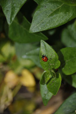 This photo show the organic was to combat insect in your garden. This lady bug is eating aphids that have taken residen on this plant