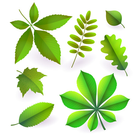 Set of isolated bright green summer isolated leaves. Elements of trees. Leaves of maple, chestnut, oak, aspen, wild ash, wild grapes, poplar. To create spring designs posters, banners Vector paper cut