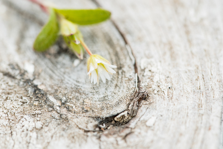 White wooden vintage background. A small flower on a tree. Selective focus. In the style of wabi sabi Copy space. Stock Photo