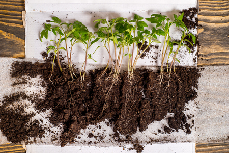 Sequence of seed germination on soil, evolution concept. Seedlings, sprouts with roots and young leaves