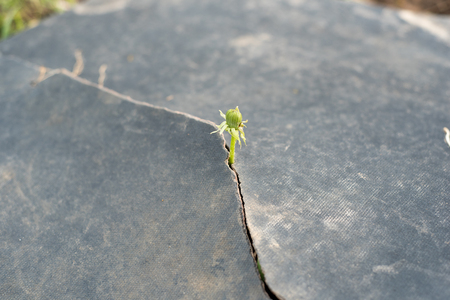 Seed growing through crack in pavement Ecology concept. Rising sprout on dry ground