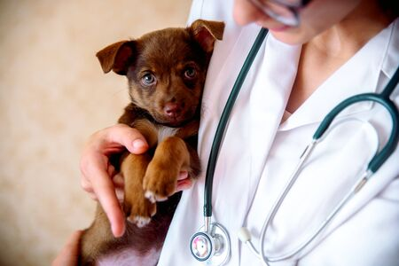 the vet examines a puppy in the hospital. the little dog got sick. puppy in the hands of a veteran doctor