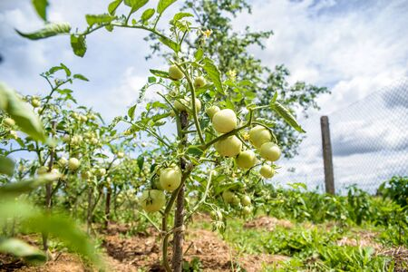 Bush of green tomatoes tied to a wooden stick, organic food grown on own field. Life in the village, Ukraine