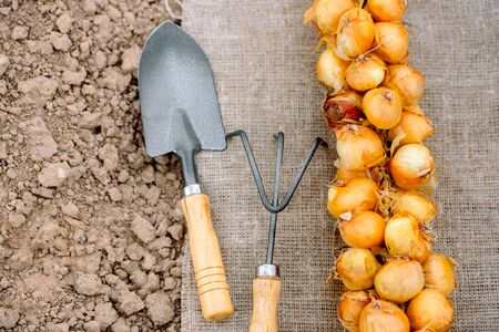 bunch of onion bulbs with shovel on it and carried out for planting , cleaned and prepared onion bulbs, agriculture and gardening concept. Farmer in summer and spring.Top wiew. Soil in the garden