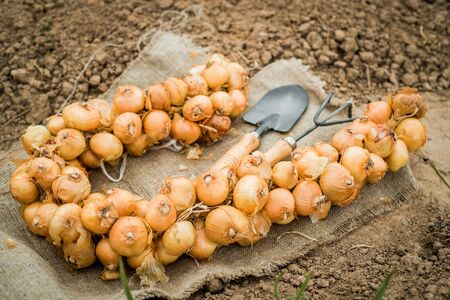 bunch of onion bulbs with shovel on it and carried out for planting , cleaned and prepared onion bulbs, agriculture and gardening concept. Farmer in summer and spring.