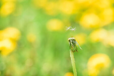 Dandelion with lonely two seed on blurred grass bokeh background. Spring card. Close up.Young spring fresh greens. green yellow background