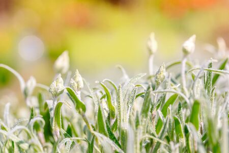 green buds and fluffy leaves, a background of silver grass. Beautiful summer card. Growth and blooming of flowers. Blooming Bokeh Background. Banque d'images