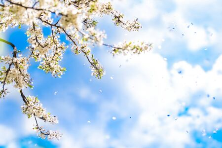 Tender spring card.Flowering white cherry. Fresh spring nature, Blue sky with clouds. Flower petals falling like snow