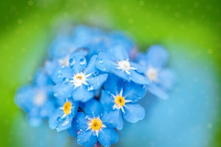 Blue forget me not flowers closeup.Macro. bokeh blur background. beautiful summer card.Drops of rain or dew on blue violet petals. Spring Flower.