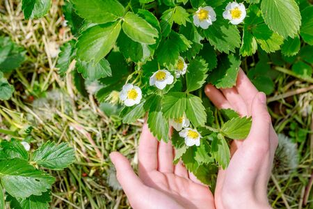Gardener handles bush of strawberries in the garden. Weed control, planting flowering strawberries bush. Spring gardening.care, transplanting, watering and fertilizing young plants in the garden
