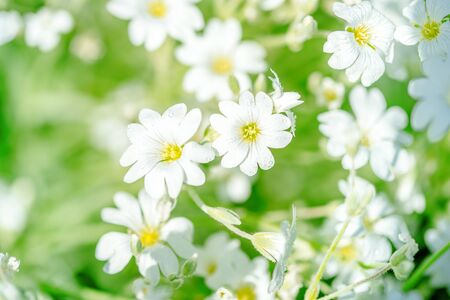 nature in the village. White flowers background.Texture white summer flowers. wildflowers field, freshness, dew and rain drops, close-up. gentle green background. selective focus.