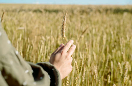 young girl in wheat field. Runs his hand over ears. his back. life style. . freedom concept. hot summer.