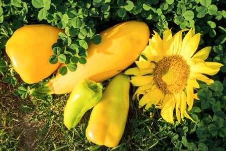 Summer vegetables. Yellow sunflower, bell peppers, pumpkin. Green grass of clover. Farmers Autumn Harvest Archivio Fotografico