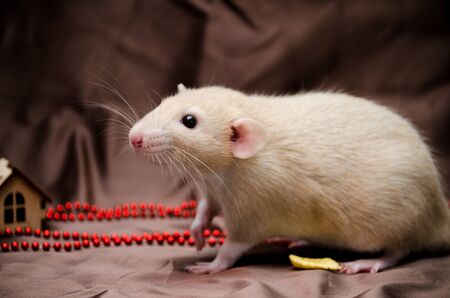 New Year concept, white domestic rat dumbo sits on a dark backround with a decorations, symbol of year 2020 Stok Fotoğraf