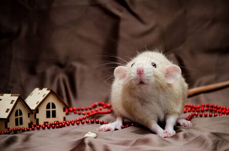 White domestic cute rat dambo sits on a brown background with New Year house decorations, symbol of the year 2020