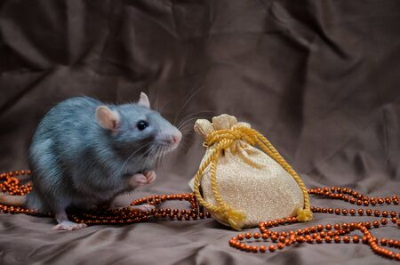 Blue irish domestic cute rat on brown background sits near New Year bag with presents and hold it, symbol of the year 2020