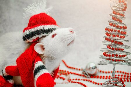 White albino funny rat in red hat and scarf, sniffing air, fur background with New Year tree, silver ball, beads, symbol of the year 2020, with copyspace Stok Fotoğraf