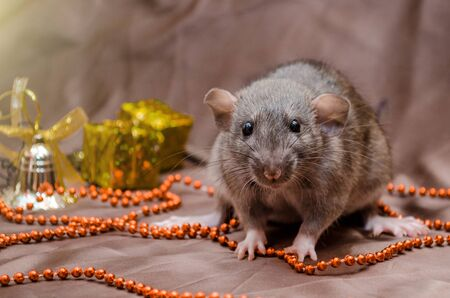 Gray rat agouti standard dumbo on dark background sits near New Year present boxes and bells, symbol of the year 2020 Zdjęcie Seryjne