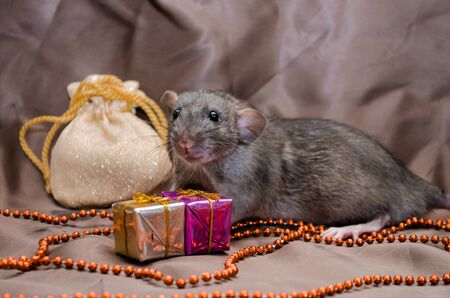 Gray rat agouti standard dumbo on brown background sits near New Year bag and present boxes, symbol of the year 2020 Zdjęcie Seryjne