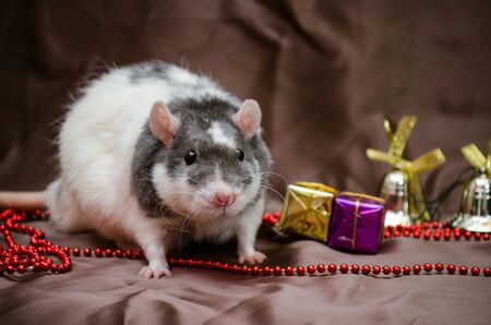 Gray and white rat sits on brown background near New Year present boxes, bells and beads, symbol of the year 2020