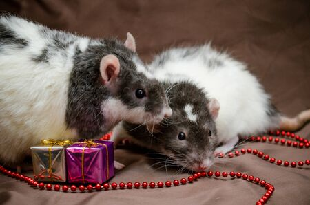 Couple of gray and white rats sit on brown background near New Year present boxes, beads, kiss each other, symbol of the year 2020