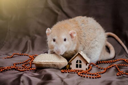 Perling rex dumbo cute rat on brown background sits near New Year bag with presents looking forward, symbol of the year 2020