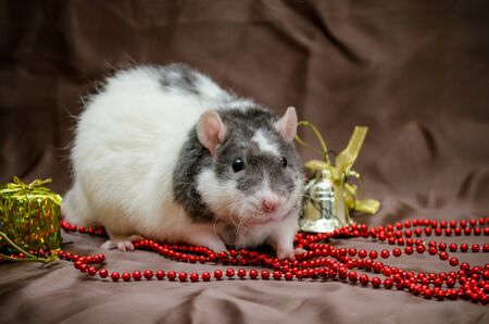 Gray and white rat sits on brown background near New Year present boxes, bells and beads, symbol of year 2020