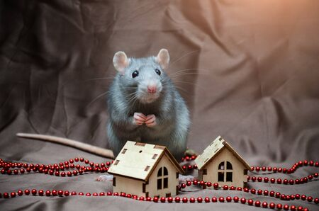 Blue irish domestic cute rat on brown background sits near New Year house, folded paws together, symbol of the year 2020