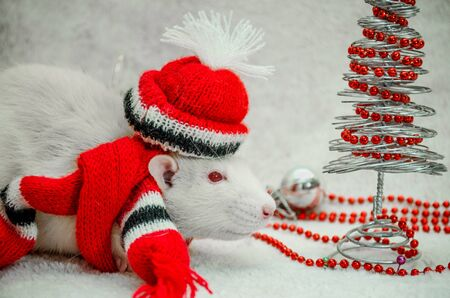 White albino funny rat in red hat and scarf, fur background with New Year tree, silver ball, beads, symbol of the year 2020, with copyspace