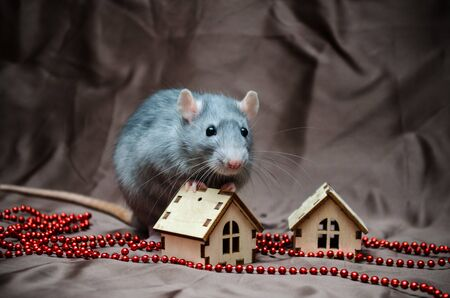 Blue irish domestic cute rat on brown background sits near New Year house and hold it, symbol of year 2020