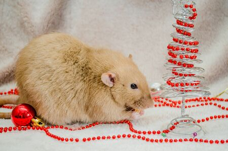 Rat burmese dumbo on white fur background with New Year tree, red ball, sniffing beads, symbol of the year 2020