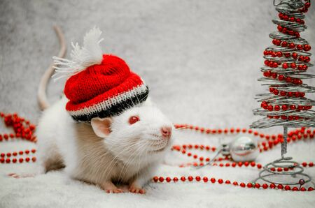 White albino funny rat on red hat, fur background with New Year tree, silver ball, beads, symbol of the year 2020, with copyspace 스톡 콘텐츠