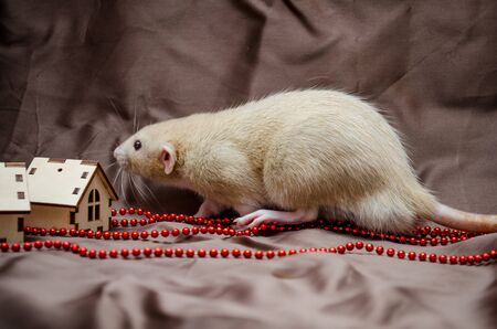 New Year concept, white domestic rat dumbo sniffs house on a dark backround, symbol of year 2020 Stok Fotoğraf