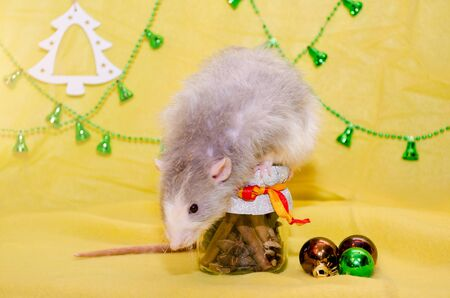 Longhair blaze dumbo gray cute rat with funny ears sits on a New Year gift jar with a ribbon on a yellow background with a Christmas decorations, symbol of 2020