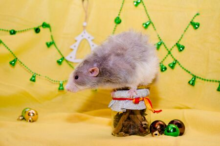 Longhair blaze dumbo gray cute rat sits on a New Year gift jar with a ribbon on a yellow background with a Christmas decorations, symbol of 2020