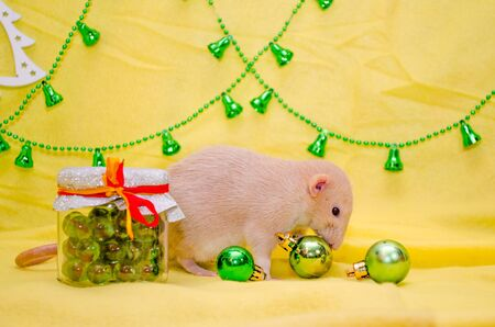 White rat dumbo with cute ears sits near a New Year gift jar with a ribbon on a yellow background with a Christmas tree, bells, sniffing balls symbol of 2020